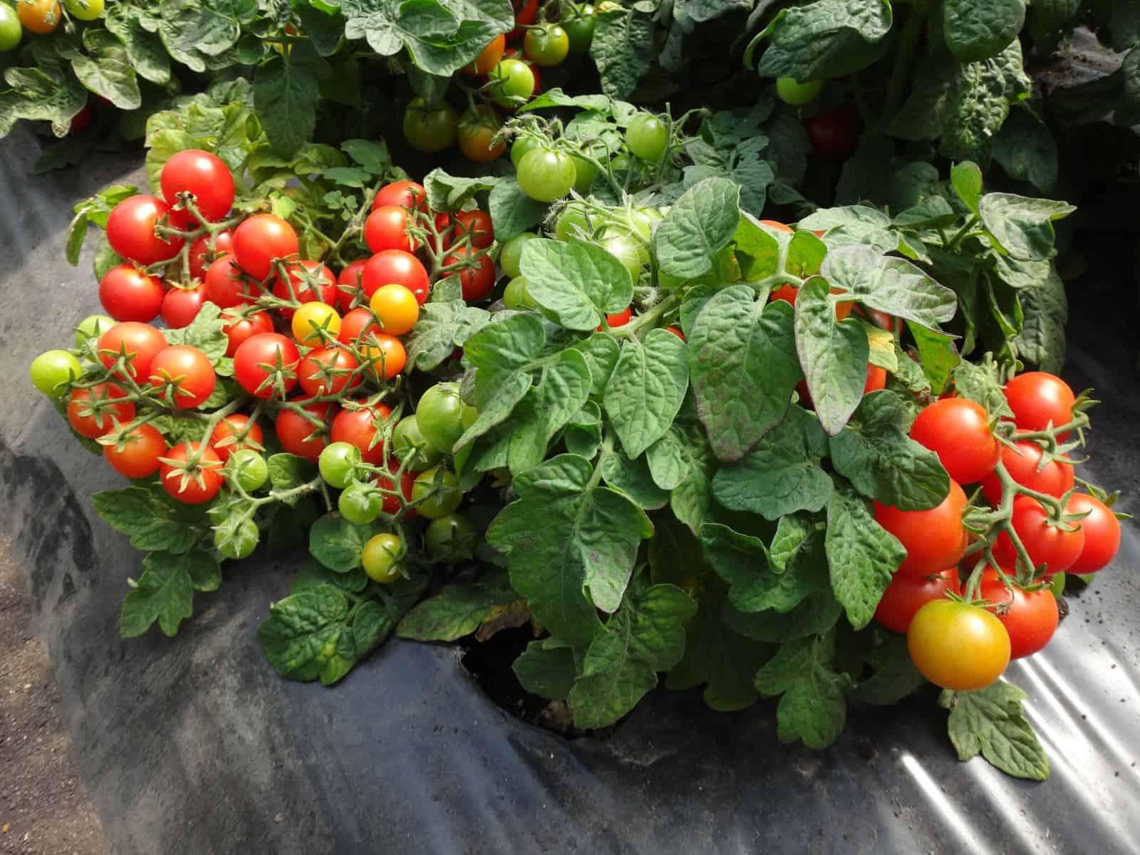 Thần dược cà chua- Bí quyết giảm cân tại nhà